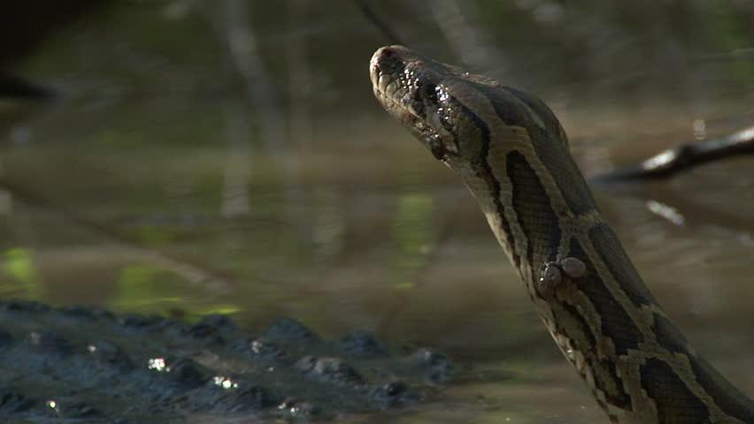 Entangled alligator and python