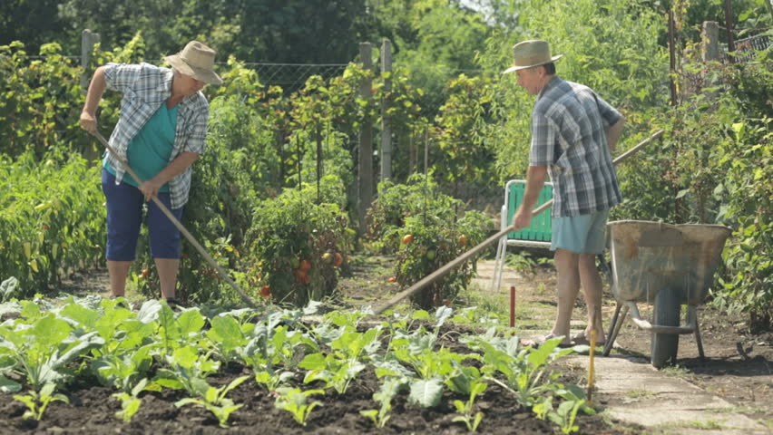 senior farming couple working in vegetable garden in summer