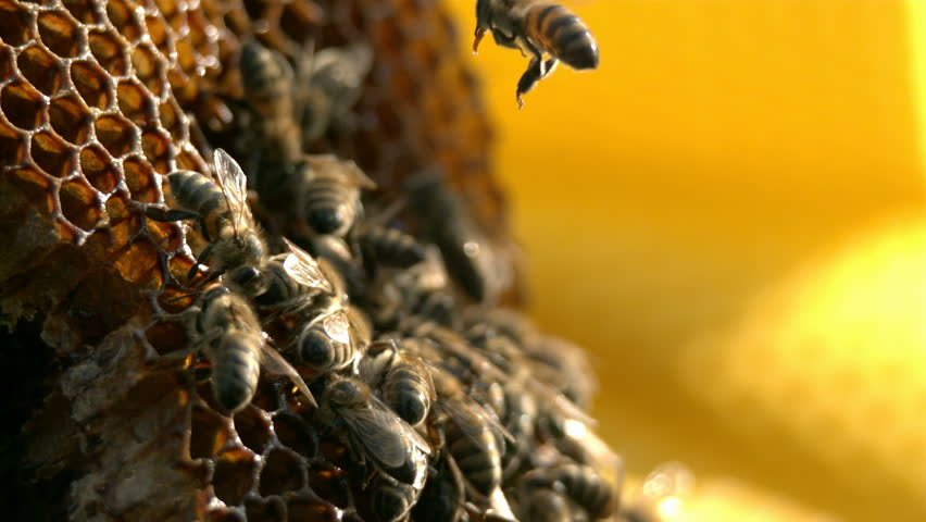 Bees are flying near honeycomb - Slow motion