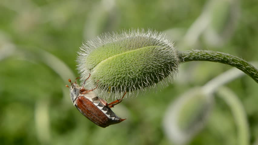 maybug on spring poppy bud - HD stock video clip