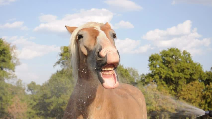 Humorous video of a Belgian Draft horse playing with water with his mouth - HD stock video clip