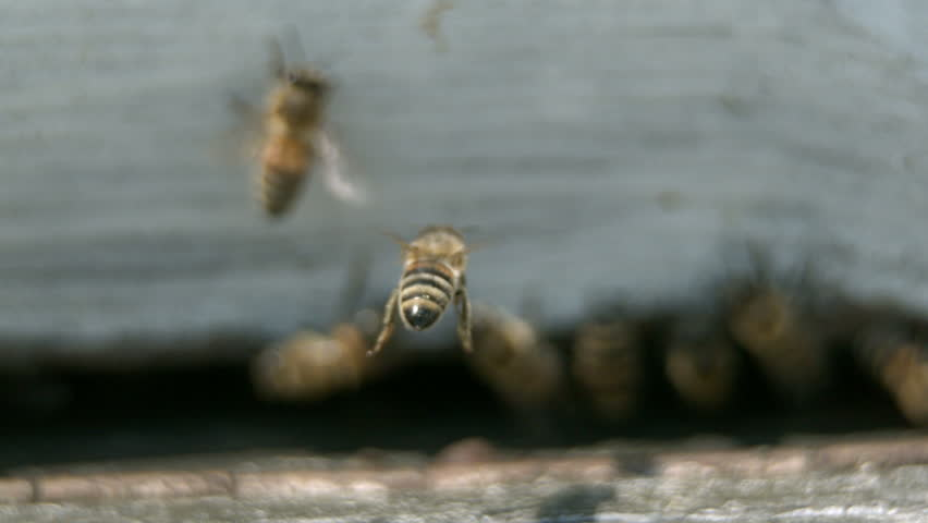 Bee is entering honey case - Slow motion