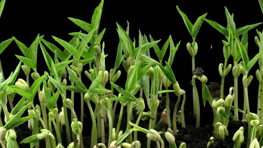 Time-lapse of growing mung beans isolated on black background 6a