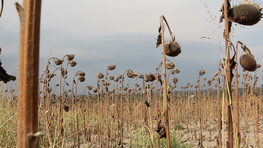 Sunflower field affected by drought ...
