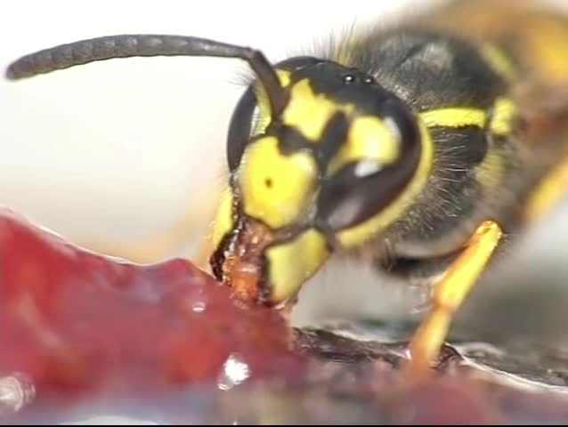 A close-up of a wasp eating jelly. Sequence in slow motion at 300fps.