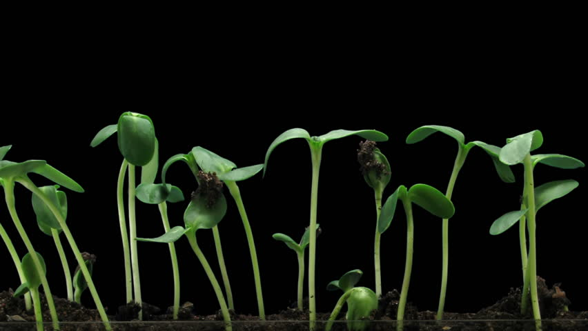 Time-lapse of germinating sunflower seeds 6a2