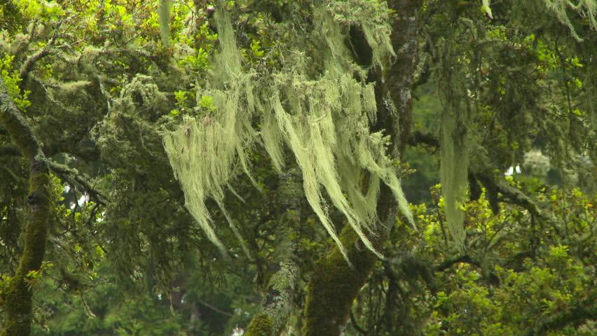 Closeup Of Spanish Moss Stock Footage Video 2758214 ...