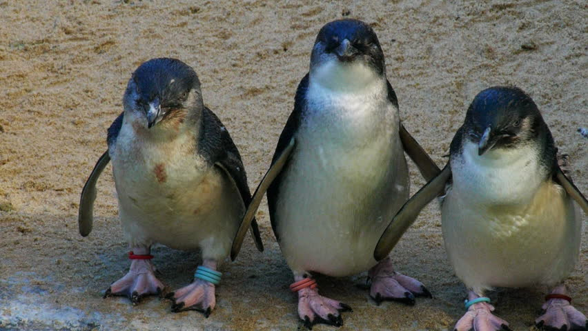 a group of three little penguins, the world's smallest penguin, standing on a beach - HD stock footage clip