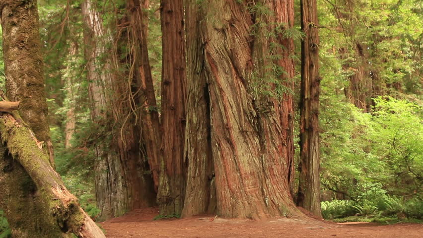 Redwood Forest 23 Stout Grove - HD stock footage clip