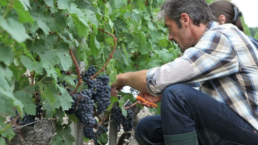 Harvesters cutting bunch of grapes in vineyard rows