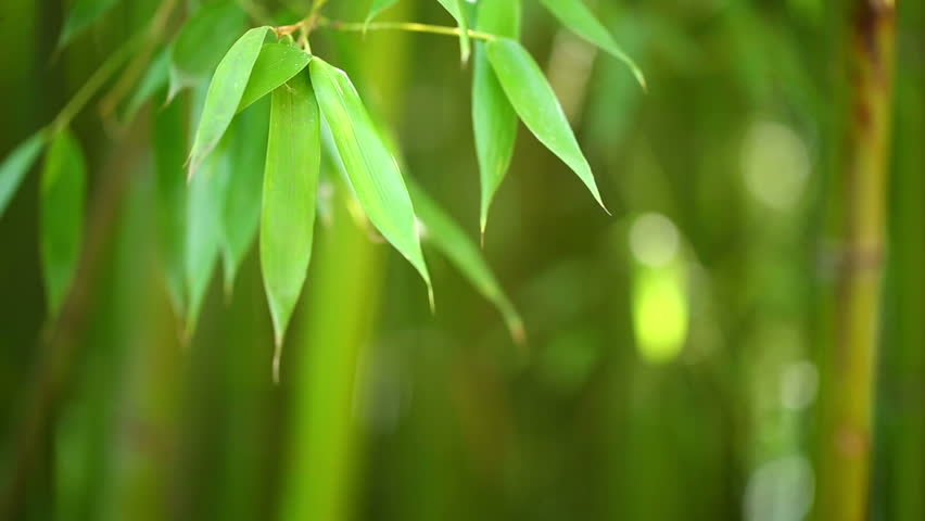 Bamboo forest background. Shallow DOF - HD stock footage clip