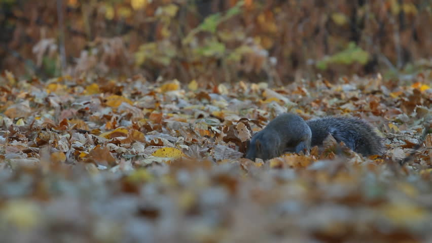 Squirrel in the park finds and eats acorns in autumn. - HD stock footage clip