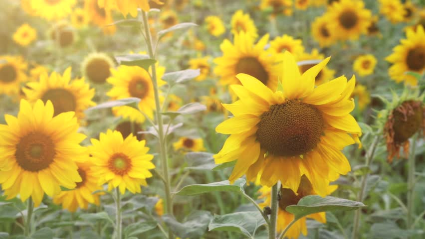 Sunflowers panning camera