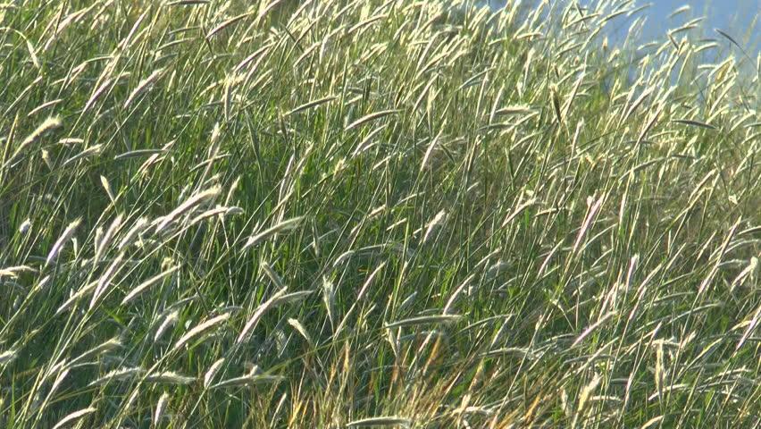 Ornamental Grasses Kenya : Tall field of wild grass lit by sun blows in wind p hd stock
