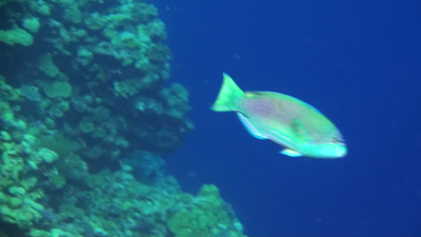 A Very Colorful Parrot Fish On The Great Barrier Reef