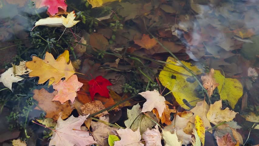 Beautiful background of colorful autumn leaves floating in the water. - HD stock video clip