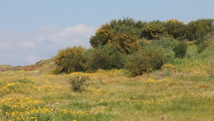 Header of Acacia farnesiana