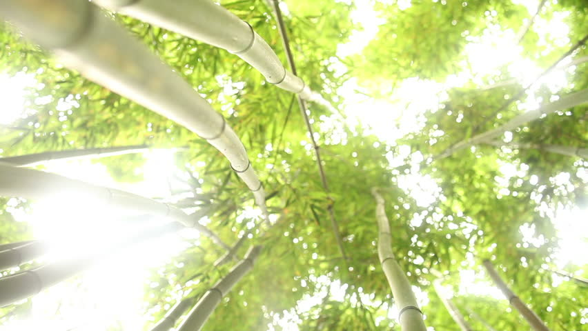 Through Bamboo Forest Dolly - HD stock footage clip