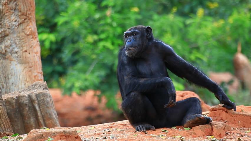 TENEBO  |Chimp Sitting
