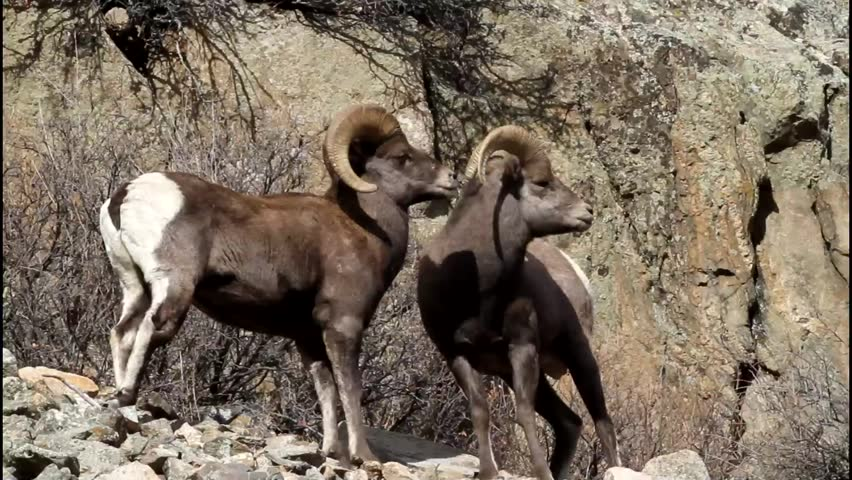 Triple Header - Two bighorn rams head-butt each other to establish dominance in the social order. One tries to get advantage by faking a retreat. The dominant ram mates with the ewes.