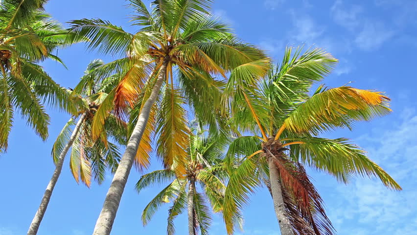Coconut Palm trees,low angle view,Maldives Islands - HD stock footage clip
