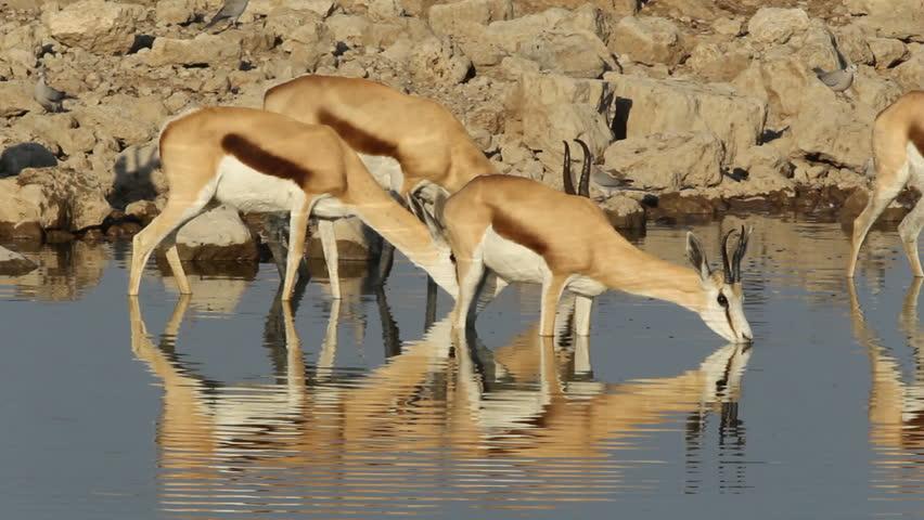 Springbok antelopes (Antidorcas marsupialis) drinking at a waterhole, Etosha National Park, Namibia - HD stock footage clip