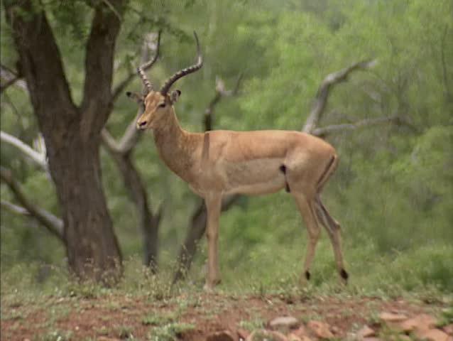 impala ram motionless in africa shot in hd super slow. Black Bedroom Furniture Sets. Home Design Ideas
