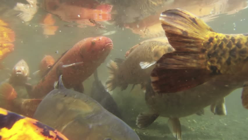 Red snapper gather together in a large school stock for Koi carp pond depth