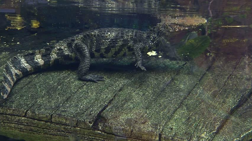 Cuvier's Dwarf Cayman, Crocodile, Alligator