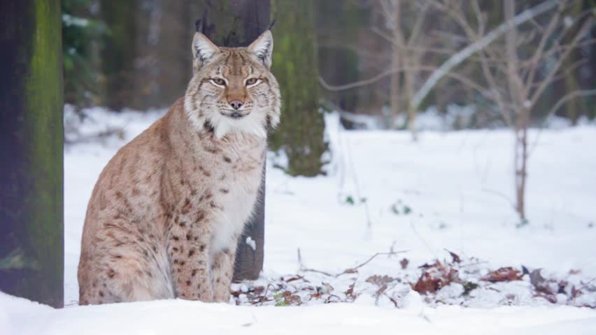 Clip 7959976 Stock Footage Lynx In Winter Scenery Laying On Ground Watching Around Low Angle Shot further Itp Bajacrossultracross Tires Black Ops Wheels Nuevas Garras Para El Wildcat besides Fat Siamese Cat likewise 196417 Zrt 800 Pic furthermore Clip 3436871 Stock Footage Wild Cat. on arctic cat wildcat sd