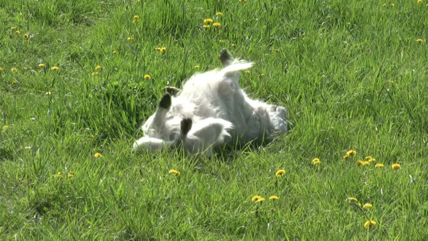 Golden retriever dog rolling in grass | Shutterstock HD Video #3303275
