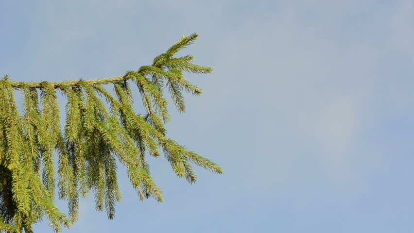 speed up fast view fir tree branch move in wind closeup on background of cloud fly in sky. - HD stock video clip