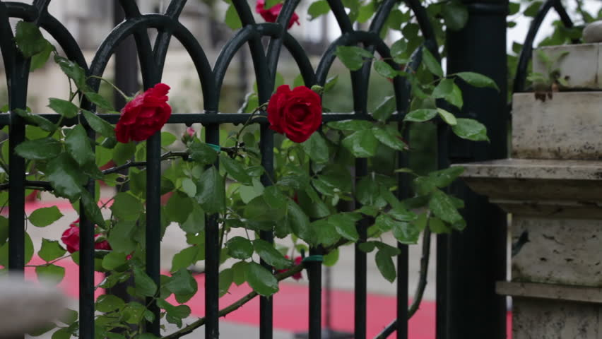 Red roses climbing on a Roman fence - HD stock footage clip