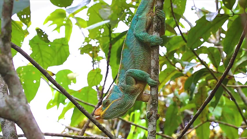 ENDANGERED male Parson's Chameleon (Calumma parsonii) in a tree in Ranomafana, Madagascar. The largest chameleon species in the world. IUCN lists as Near Threatened. Big, beautiful, and colorful. - HD stock video clip