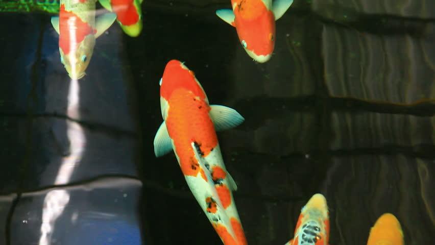 Koi fish stock footage video 3410834 shutterstock for Koi fish to pond ratio