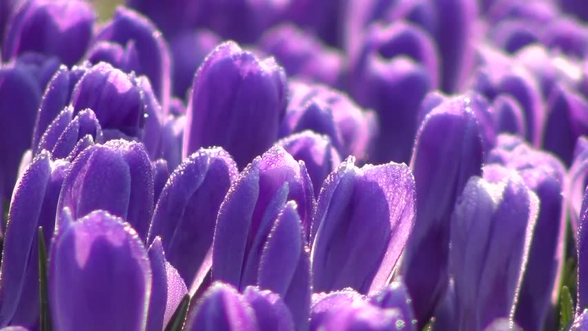 Crocus flowers | Shutterstock HD Video #3413408