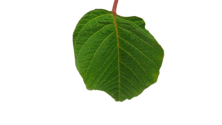 Closeup of Poinsettia pulcherrima leaf dying over white background
