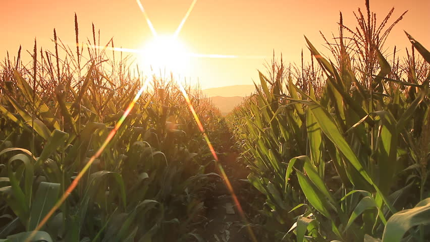 Corn farm in Thailand :  Crane shot with flare part 2