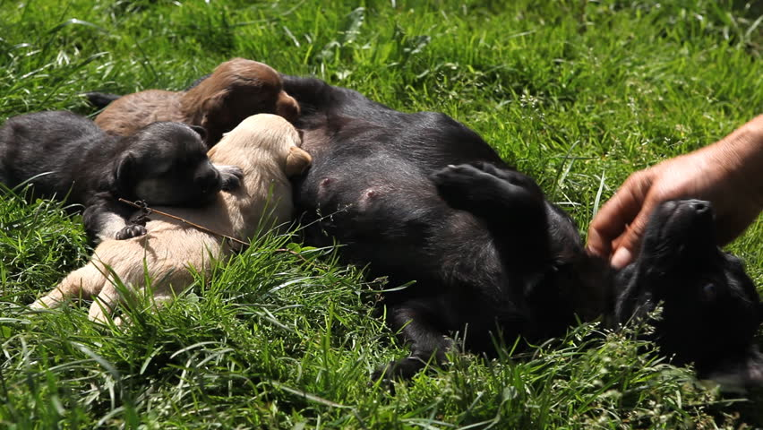 Beautiful Adorable Cute Puppies, Cubs Newborn Dogs Looking for Friends, Mother Feeding - HD stock video clip