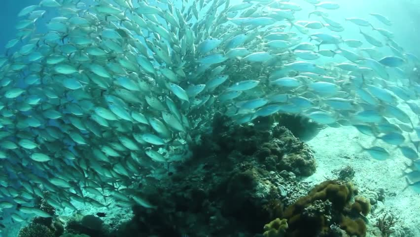 A thick school of scad part as they flow over a shallow sandy slope in the