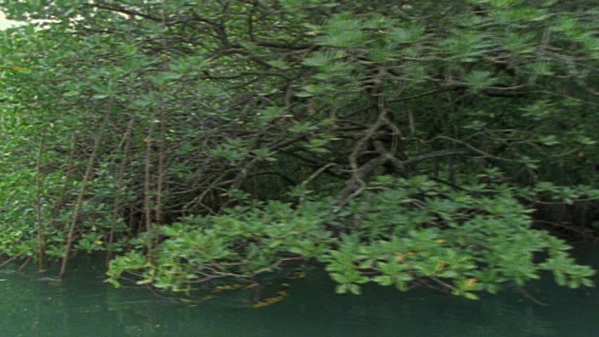 Mangrove trees - SD stock footage clip