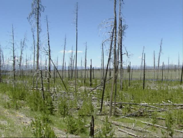 YELLOWSTONE NATIONAL PARK - summer 1996: Burnt area + rejuvenation with dead trees still standing - pan