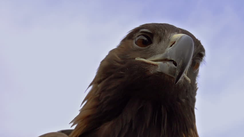 Predator hunting. Slow Motion at a rate of 480 fps. Saker falcon screams. Head close-up