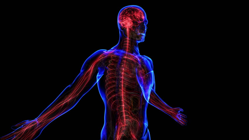 All human body systems. Transition body - nervous system - body. Loop - HD stock footage clip