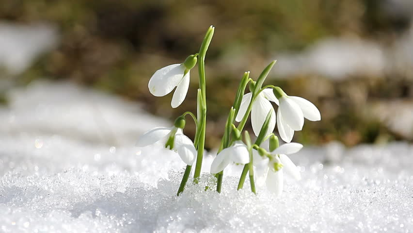 Few Snowdrops From The Snow Stock Footage Video 3495752