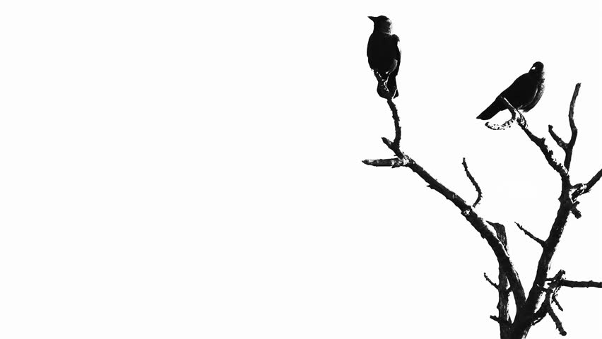 Silhouette of two crows in a tree - HD stock footage clip