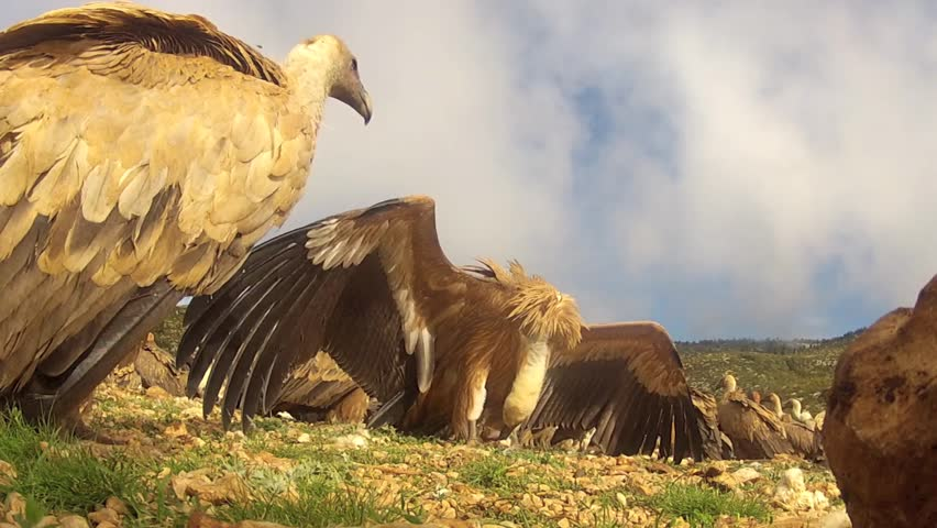Common Vultures walking around while feeding on prey, camera on ground level - HD stock footage clip