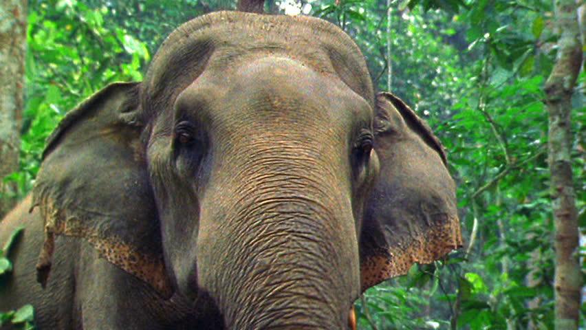 Asian elephant definit...