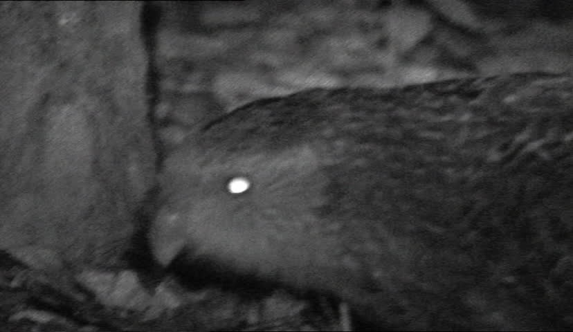 infrared black and white kakapo at night time - SD stock video clip