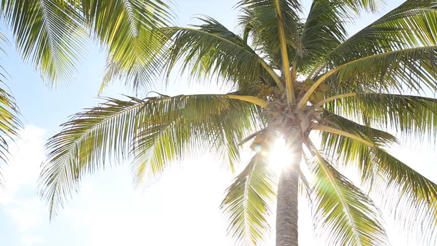 Sunny palm tree. Palm tree in gentle tropical breeze. Pelican flies over at beginning of clip. Tulum, Mexico.